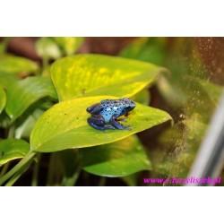 Drzewołaz niebieski [Dendrobates azureus]
