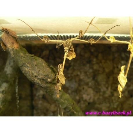 Gongylus gongylodes samica subimago