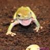 Rzekotka australijska Litoria caerulea
