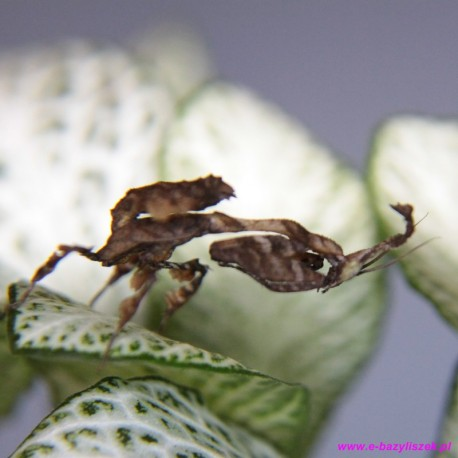 Phyllocrania paradoxa [Modliszka liściogłowa]