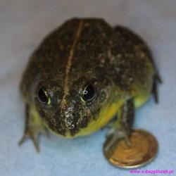 Afrykańska żaba byk Pyxicephalus adspersus