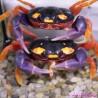 Krab Halloween [Gecarcinus quadratus]