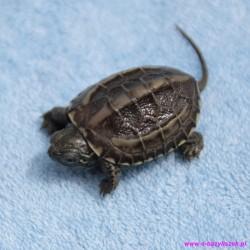 Żółw chiński Chinemys reevesii
