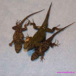 Legwan malachitow [Sceloporus malachiticus]