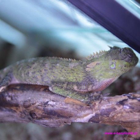 Agama górska rogata [Acanthosaura crucigera]