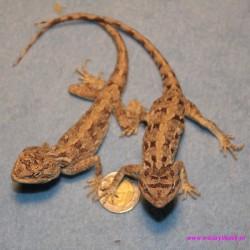 Trapelus (Agama) savignii