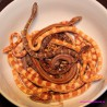 Wąż zbożowy  (Pantherophis guttatus)