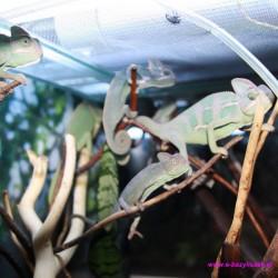 Kameleon jemeński [Chamaeleo calyptratus]