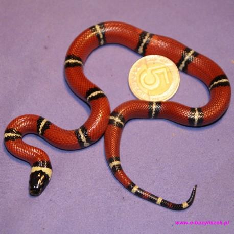 Wąż mleczny [Lampropeltis triangulum stuarti]