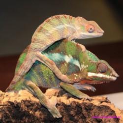 """Kameleon lamparci ambiloba """"red"""" [Furcifer pardalis]"""