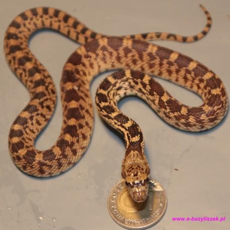 Wąż byczy [Pituophis catenifer]