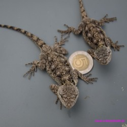 Agama niebieskogardła [Acanthocercus atricollis]