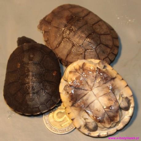 Żółw hełmogłowy Pelomedusa subrufa afrykańska