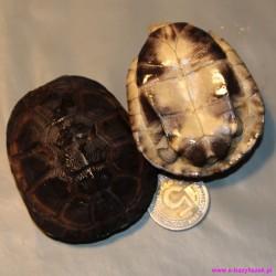 Żółw kasztanowaty Pelusios castaneus