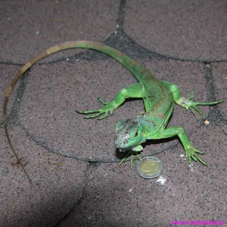 Legwan zielony Iguana iguana