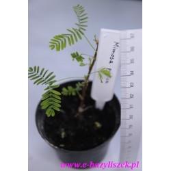 Mimosa pudica (Mimoza wstydliwa)