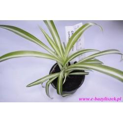 Chlorophytum comobum (Zielistka)