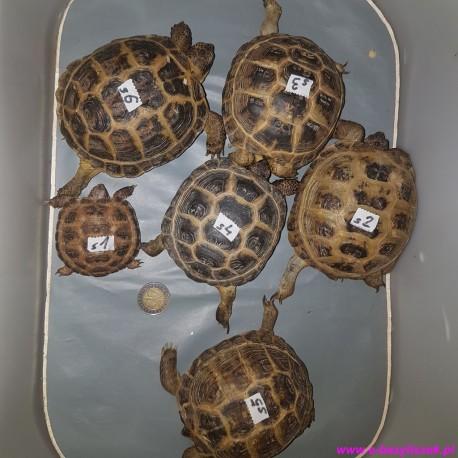 Żółw stepowy Agrionemys (Testudo) horsfieldii
