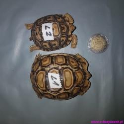 Żółw lamparci [Stigmochelys (Geochelone) pardalis babcocki] lądowy