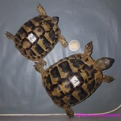 Żółw grecki [Testudo hermanni] lądowy