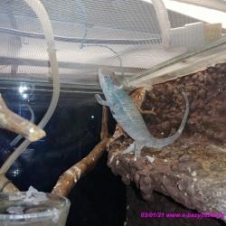 """Kameleon lamparci ambiloba """"red"""" Furcifer pardalis"""
